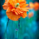 Orange Poppy Blue Field