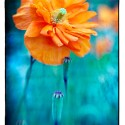 Orange Poppy Blue Field B